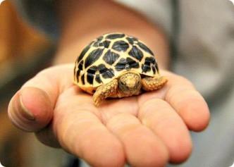 самые маленькие черепахи в мире