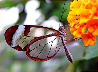 бабочки с прозрачными крыльями