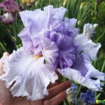 большой цветок ириса